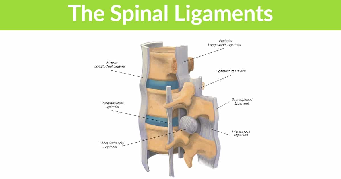 The spinal ligaments