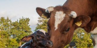 Calf Health and Nutrition Benefits |  AG