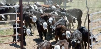 Early weaning: nutrition, vaccination |  TheFencePost.com