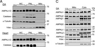 Mitochondria-localized AMPK responds to local energetics and contributes to exercise and energetic stress-induced mitophagy