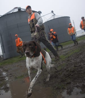 Hound Lilly Ann leads a group of pheasant hunters to the fields near Pleasantville in 2007.