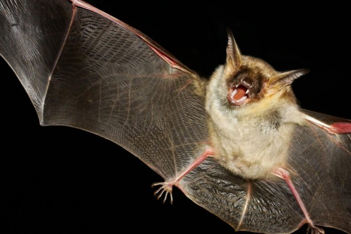 Illinois man wakes up with a bat on his neck and becomes the first rabies victim since 1954!